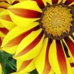 cropped-G3_gazania_oct-e1404429701695.jpg